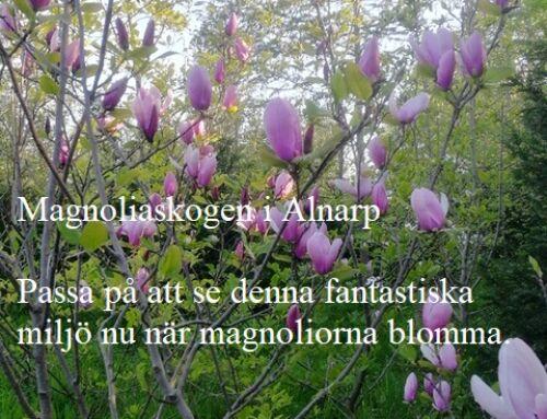 Magnoliaskogen i Alnarp